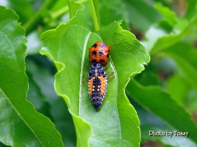 テントウムシ と 幼虫