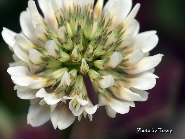 クローバーセピア 花