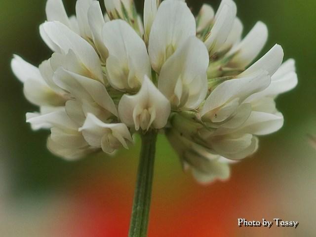 クローバー セピア 花