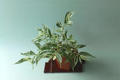 白斑ウワバミ草