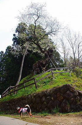 赤坂の薬師桜