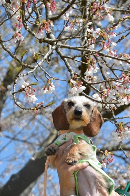 りっちゅんと桜