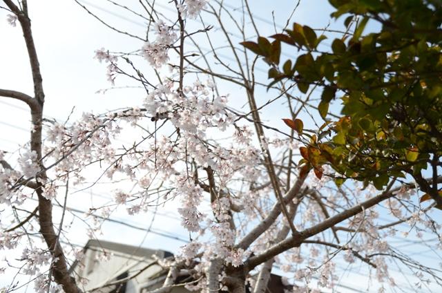 庭のしだれ桜