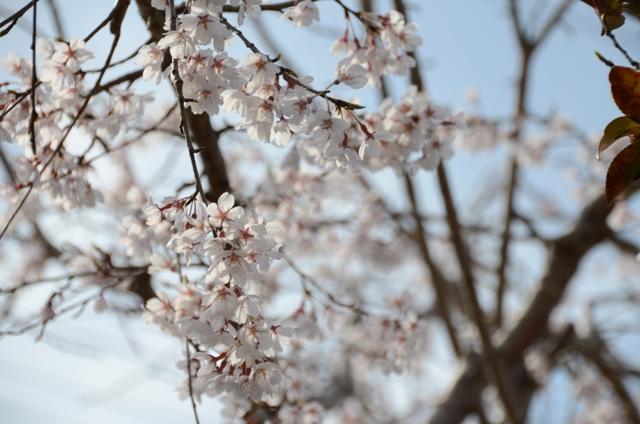 庭のしだれ桜2