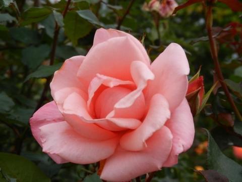DSCN0066 秋薔薇