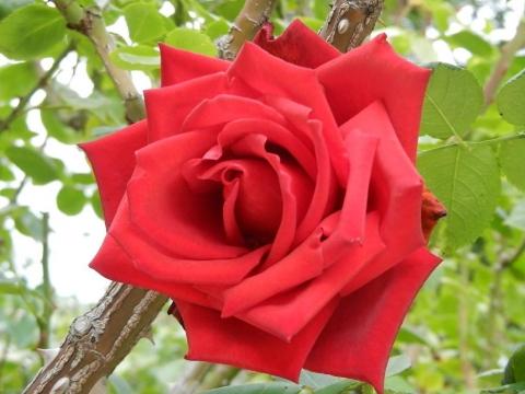 DSCN0065 秋薔薇