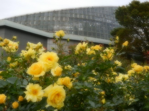 DSCN0062 秋薔薇