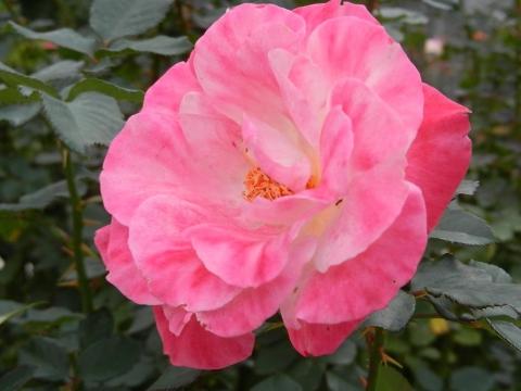 DSCN0076 秋薔薇