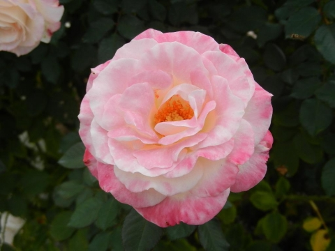 DSCN0075 秋薔薇