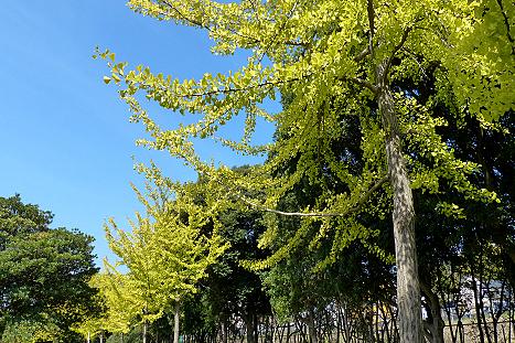 緑道の銀杏並木♪