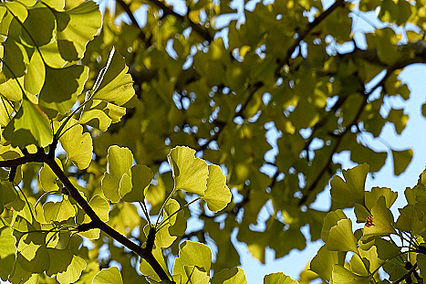 銀杏の葉♪
