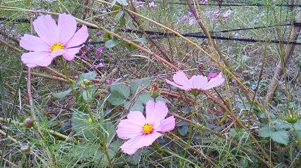 kosumosu_20131023210754f40.jpg