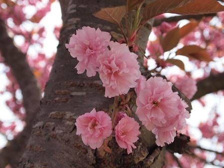 桜の木の下で!
