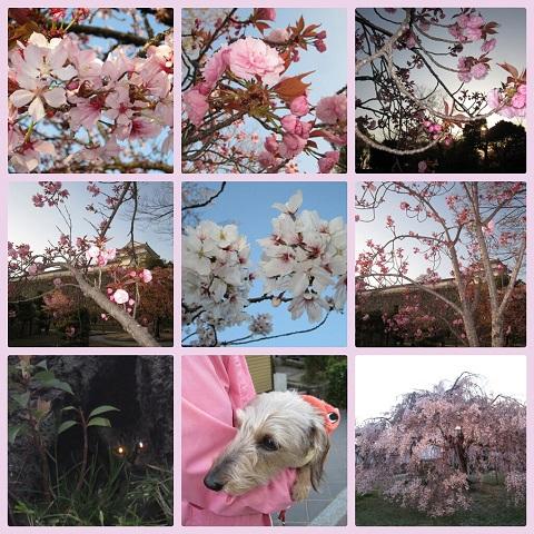 平成25年4月13日姫路城夜桜会1