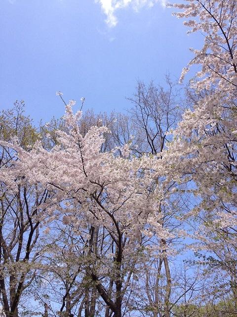 平成25年5月22日札幌桜mankai