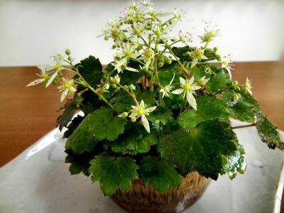 ダイモンジソウの花