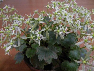 141025ダイモンジソウの花
