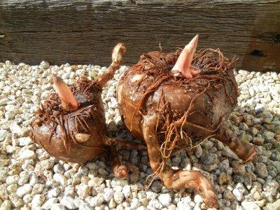 掘り出したコンニャク芋の水洗い