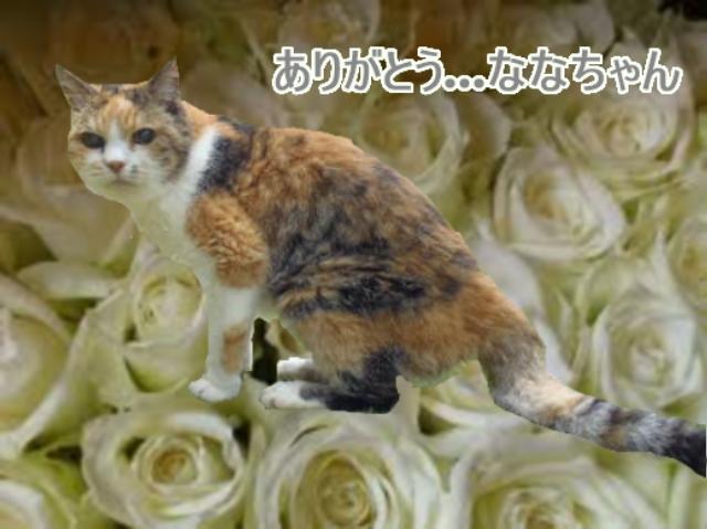 白バラ.ななちゃん