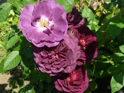 バラ・2種