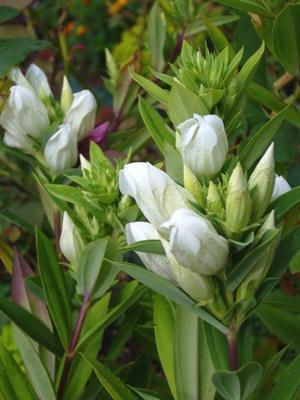 エゾリンドウ・ホワイト
