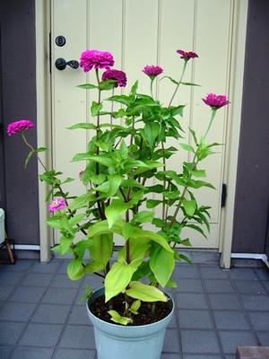 ジニア・鉢植え