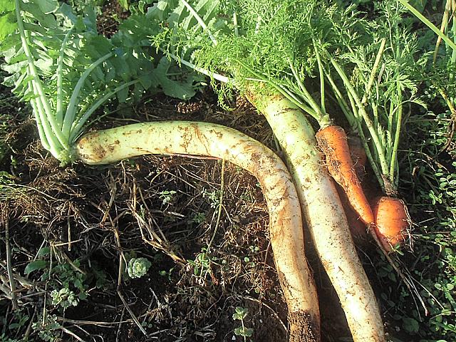 収穫した根菜類