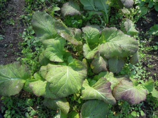 三池高菜の栽培 H2611