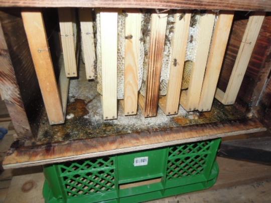 11月蜜蜂内検 底板の異変