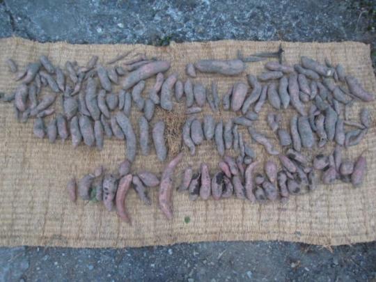 安納芋の収穫 H2610