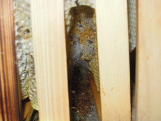 巣にスムシ転移 H2611