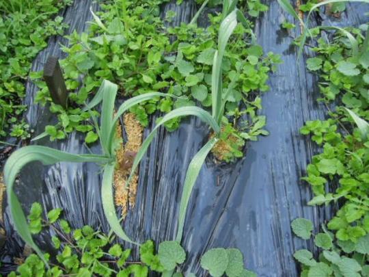 大島赤丸にんにく 無農薬有機栽培 H2611