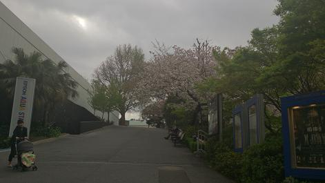 DSC_0736130403八重桜
