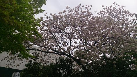 DSC_0737130403八重桜2