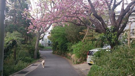 DSC_0892130409ピンクの八重桜