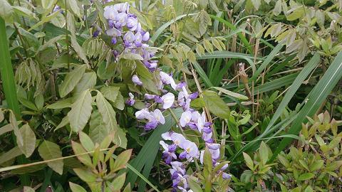 DSC_1137130420藤の花