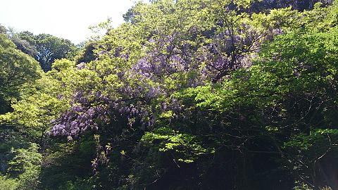 DSC_1307130429藤の花