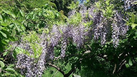 DSC_1315130429藤の花