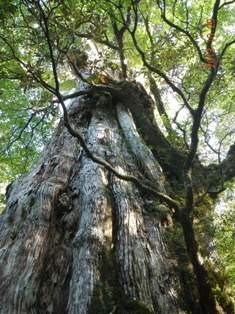 樹齢約3000年の紀元杉