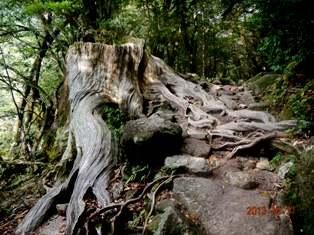 至る所に巨樹の切り株