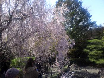 退蔵院の枝垂桜