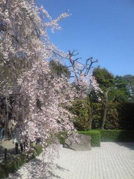 退蔵院の枝垂桜2