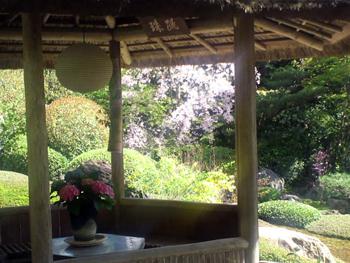 退蔵院の枝垂桜3