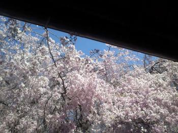 軒先から桜を望む