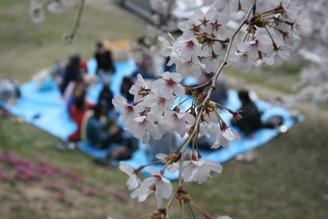 IMG_5050 比治山の桜 W
