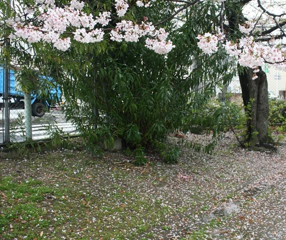 IMG_5263 雨に散る桜 W
