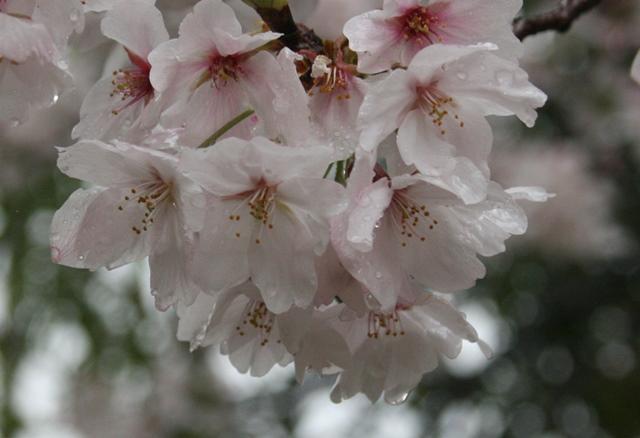 IMG_5283 雨の桜 W