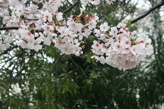 IMG_5288 重たげな桜 W