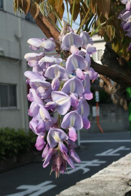 IMG_5426 フジの花房 W