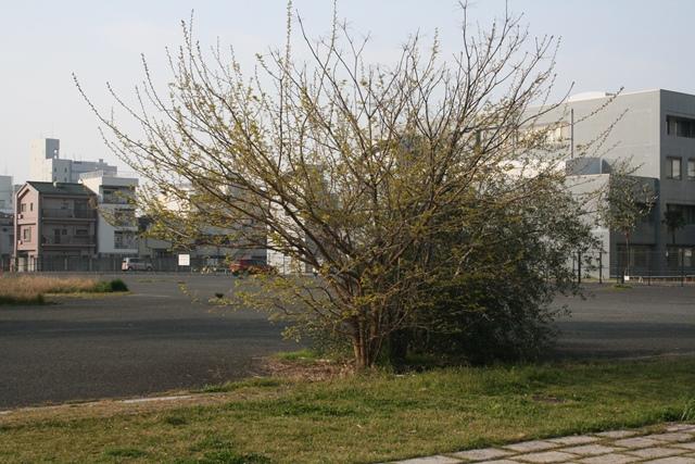 IMG_5431 桑の木